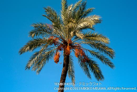 椰子の木  1534