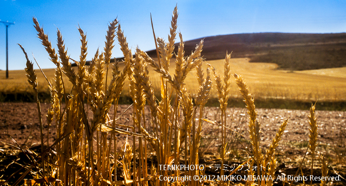 残った麦の穂(カスティージャ・ラ・マンチャ地方・グアダラハーラ)  4452