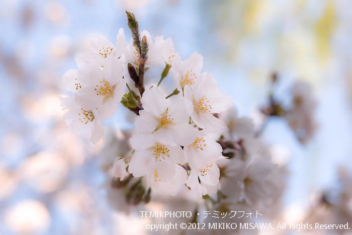 桜(東京)  4562
