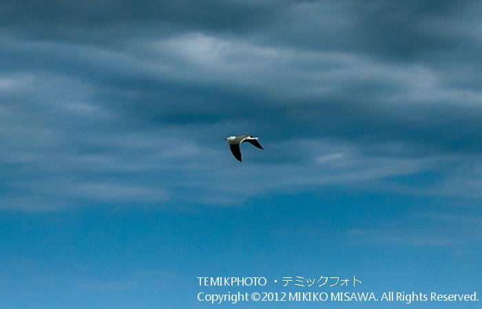 海鳥(アンダルシア地方・モハカール)  4368