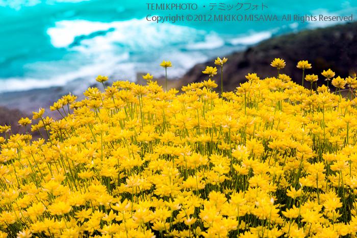 海辺の花(アンダルシア地方・モハカール)  4342