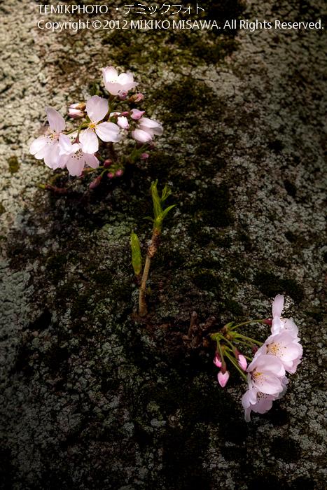 桜(東京)  4546
