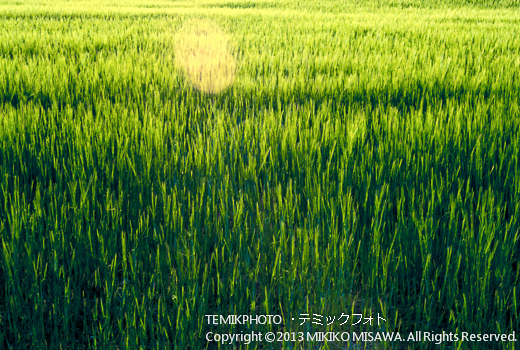 Blog-13-217 麦畑 トレド (カスティージャ・ラ・マンチャ地方・トレド)  10009