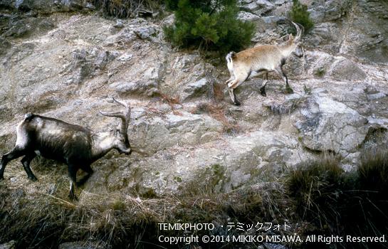 岩場に現れた山ヤギの亜種  4680