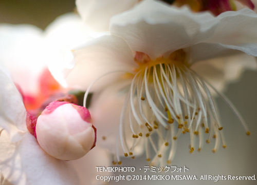 梅の花 8628