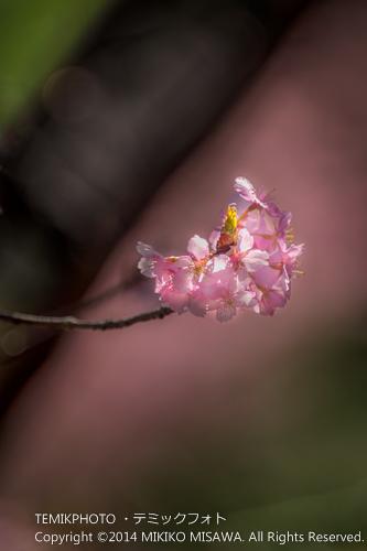 河津桜 8683