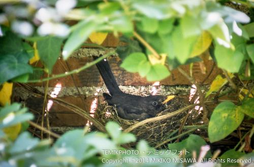 卵を温めている黒歌鳥(メス) 16763