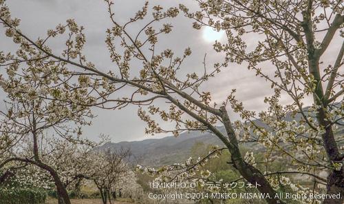 サクランボの果樹園(ヘルテ) 8501