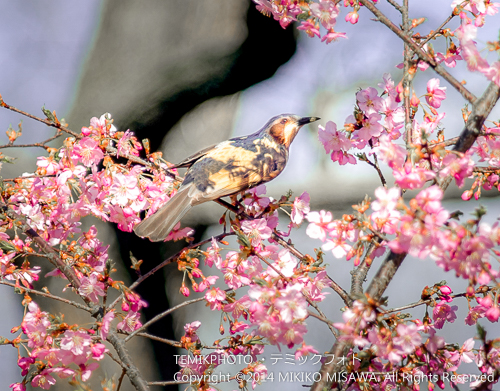 河津桜とヒヨドリ 8798