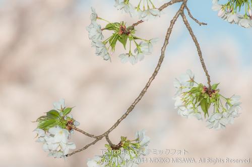 花の振り子(桜) 17447
