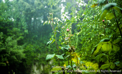 雨の庭(マドリード) 18920