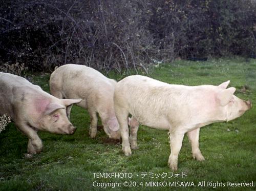 山間部でのびのびと歩く豚19097