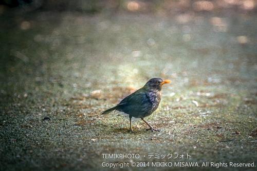 黒歌鳥(メス) 16756