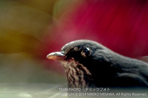 黒歌鳥(メス) 18819