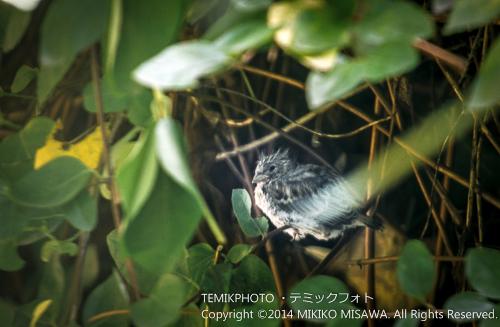 ヒバリの雛(オス) 16765