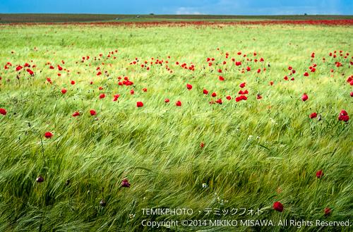 麦畑とアマポーラ  10064