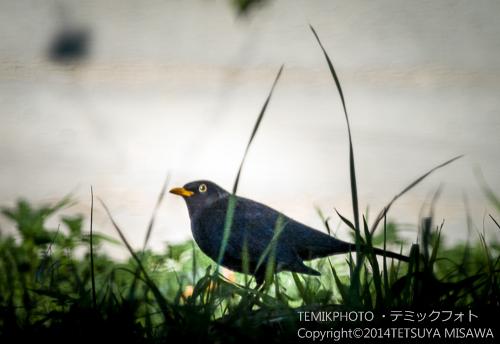 黒歌鳥(オス)  16734