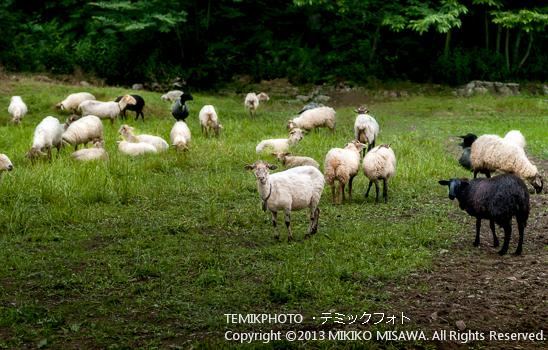 アストゥーリアス地方の羊たち (アストゥーリアス地方)  5898