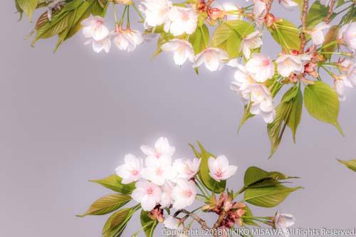 花曇りの桜  17512