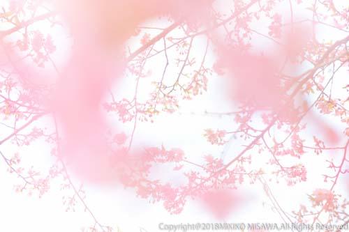 桜  17760