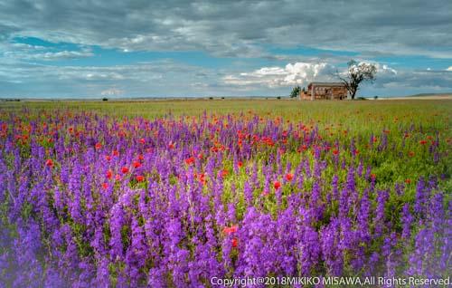 野に咲く春の花と納屋 (ラ・マンチャ地方)  18675-A