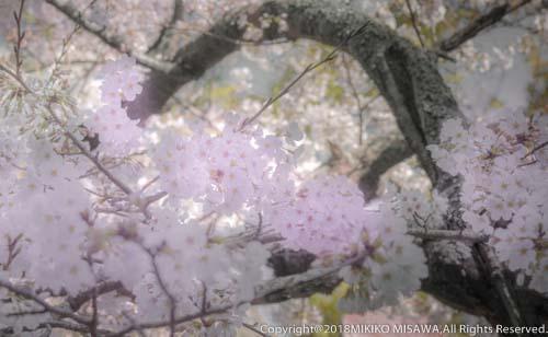桜  28822
