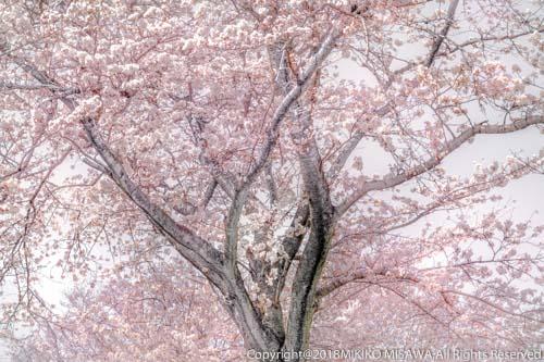 桜  9081