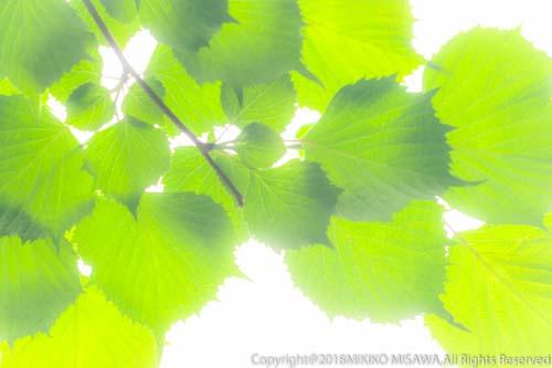 新緑の若葉  28876